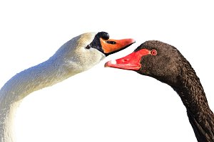 white and black swans isolated on a white background