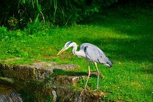 Heron on bank of stream