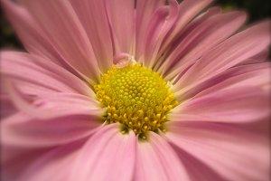Pink Flower - Botanical Photography