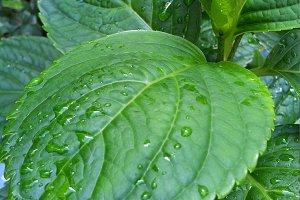Raindrops on Hydrangea Leaves Photo