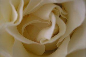 Delicate White Rose Botanical Photo