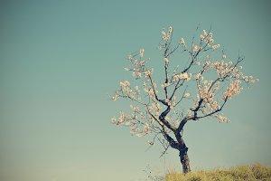 a solitary almond blossom