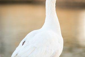 Duck goose golden hour
