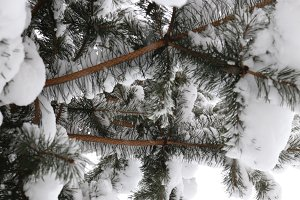 Snowy Fir Branch Needles.