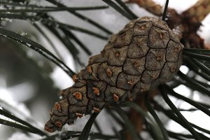 Cone on Snowy Fir Branches