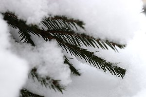 Snowy Fir Branches.