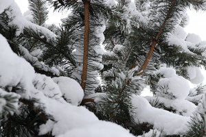 Winter Christmas Tree Snowy Branches