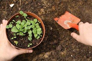 gardener hand plant sprouts