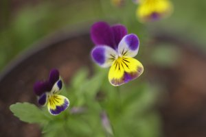 pansy flowers close up photo