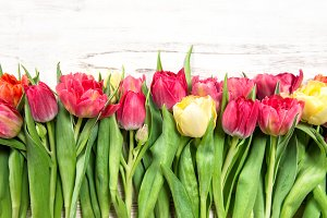 Fresh spring tulip flowers