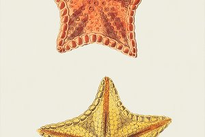 Illustration of starfish (PSD)