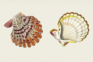 Illustration of scallop (PSD)