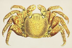 Illustration of crab (PSD)