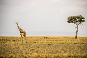 One giraffe, one tree, open space.