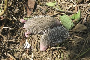 Hedgehog. The prickly mammal is a he