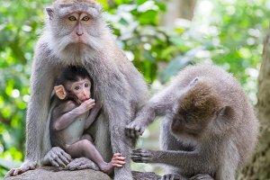 Monkey Family. Bali, Indonesia