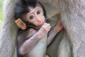 Cute baby monkey. Bali, Indonesia