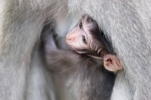 Baby monkey breastfeeding