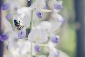 Bee on wisteria