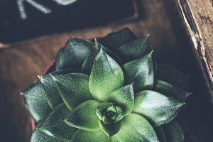 Stone rose succulent plant