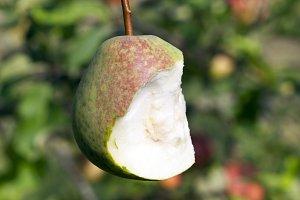 Half eaten pear