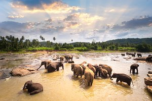 Elephants relaxing in river