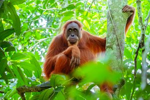 Cute orangutan in Sumatra forest