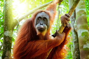 Amazing Orangutan in Forest. Sumatra