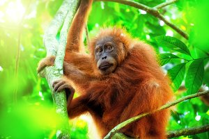 Cute Sumatran Orangutan in Nature