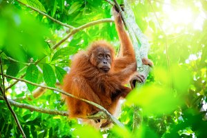 Orangutan cute baby in forest
