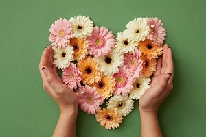 Hands of girl holding a heart of gerbera flowers