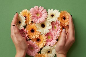 The girl's hands hold gerbera flowers