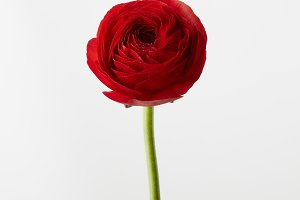 red ranunculus flower on a white background