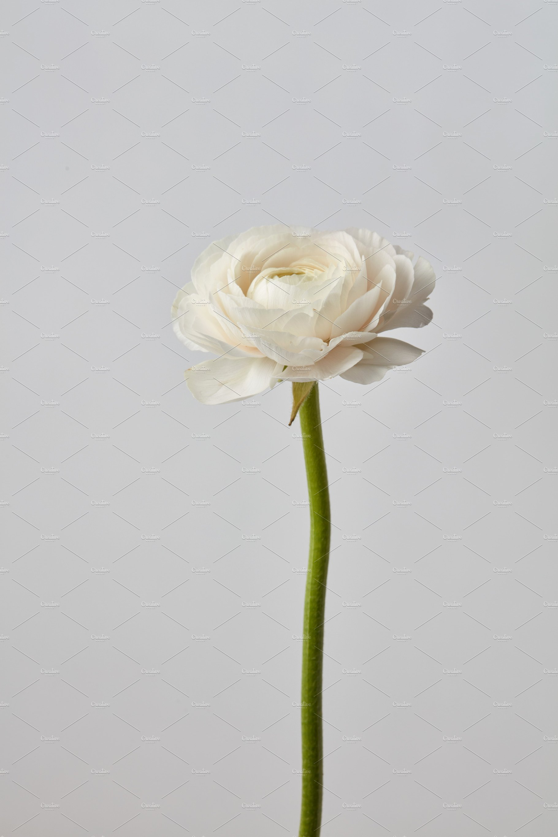 White Ranunculus Flower On A Gray Background Nature Photos