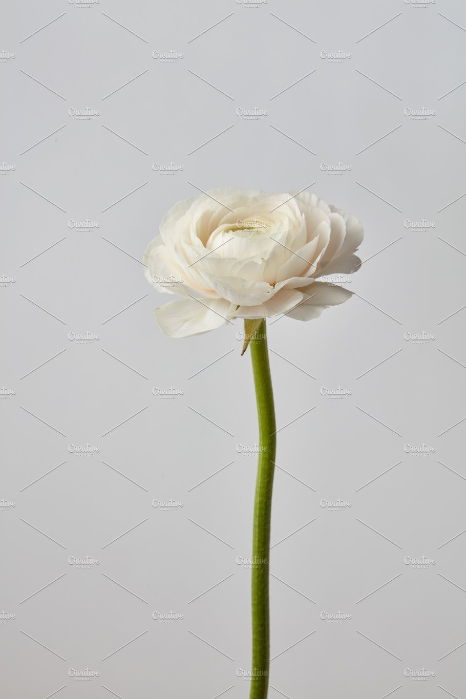 White ranunculus flower on a gray background nature photos white ranunculus flower on a gray background nature mightylinksfo