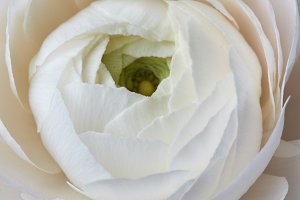 beautiful white rose on a gray background