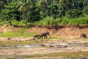 Elephants crossing river. Sri lanka