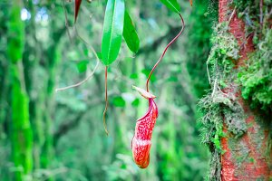 Nepenthes pitcher flower in forest