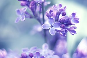 Delicate lilac flowers