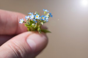 A very small bouquet of forget-me-no