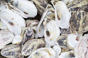 Freshly Shucked Bay Oyster Shells