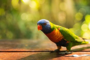 Rainbow Lorikeet on a table