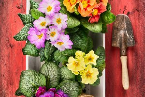 Primula flowers and scoop