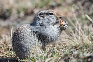 Cute ground squirrel