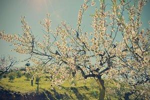 a flowering almond tree