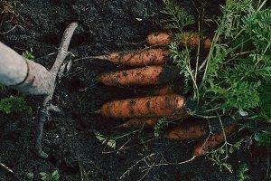Organics carrots