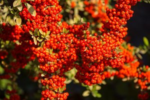 A Cotoneaster bush with lots of red berries on branches, autumnal background. Close-up colorful autumn wild bushes with red berries in the park shallow depth of field