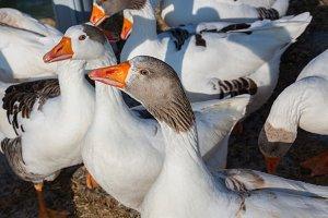 White geese, farmyard goose in grass