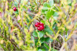 Mountain cranberries. Edible red berries. Useful forest berries. Vaccinium vitis-idaea.