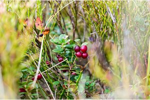 Red medicinal forest berries. Natural vitamins. A natural pharmacy.